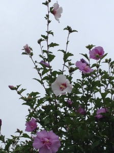 The pink rose of sharon that makes me smile every morning because it has a crazy white flower branch that grows like a gray hair on a brunet head.  :)