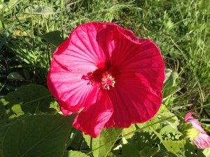 I adore these hibiscus.  This is the first year the plants have thrived, now that I know what to do to combat the deer!