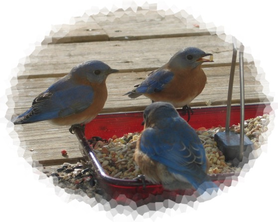 The bluebirds have returned!  Be still my heart!